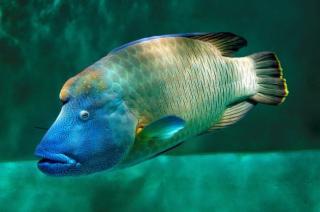 Anambas, Pulau Tropis Terindah Tempat Habitat Hidup Ikan Napoleon